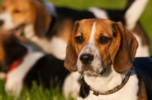 General Image - Dog beagle